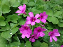 Oxalis corymbosa with rainy drops Royalty Free Stock Photos