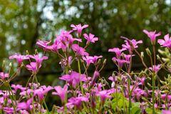 Oxalis corymbosa-spring grass. Oxalis plant height, basal leaves and white flowers are blooming, rose red, pink, florescence in November. Rhizomes of the root of Stock Photo