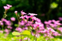 Oxalis corymbosa-spring grass. Oxalis plant height, basal leaves and white flowers are blooming, rose red, pink, florescence in November. Rhizomes of the root of Royalty Free Stock Images