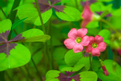Oxalis deppei Stock Images