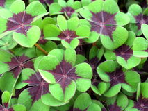 Oxalis deppei Royalty Free Stock Images