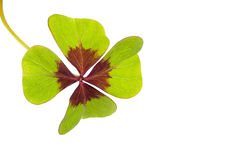 Oxalis Deppei d'isolement sur le blanc. Photos stock