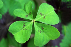 Oxalis deppei Iron Cross- Lucky Clover Royalty Free Stock Images
