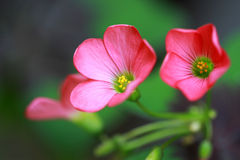 Oxalis deppei iron cross pink flowers Royalty Free Stock Image