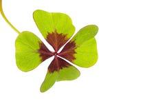 Oxalis Deppei isolated on white. Four leaf clover. Symbol of good luck. Oxalis Deppei isolated on white. Copy space Stock Photos
