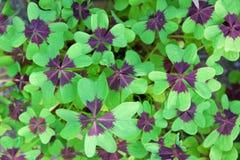 Oxalis Deppei Leaves ( Oxalis Tetraphylla ) Stock Image
