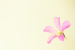 Oxalis Drummondii. Pink flower on soft yellow background Royalty Free Stock Image