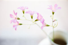 Oxalis Drummondii. Flower in a flask with blurred background Royalty Free Stock Image