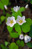 Oxalis early spring. First oxalis flowers and buds in early spring Stock Image