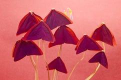Oxalis - ett välkänt hem och en trädgårds- växt Royaltyfri Bild