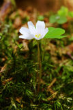 Oxalis flower Stock Images