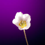 Oxalis flower Royalty Free Stock Photo