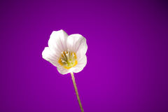 Oxalis flower Royalty Free Stock Photography