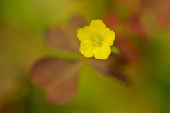 Oxalis-flower Stock Image