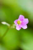 Oxalis flower Royalty Free Stock Image