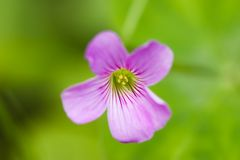 Oxalis flower Stock Photo