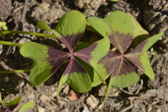 Oxalis. Four-leaf clover Oxalis Iron Cross stock photo