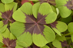 Oxalis. Four-leaf clover Oxalis Iron Cross Stock Image