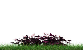 Oxalis. On green grass isolated on white background Royalty Free Stock Photo