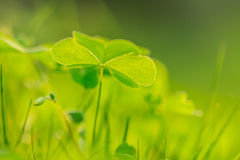 Oxalis Stock Photography