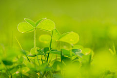 Oxalis Royalty Free Stock Images