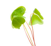 Oxalis Stock Images