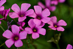 Oxalis Group of Five Royalty Free Stock Photos