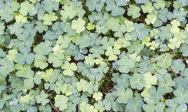 Oxalis. Group of Oxalis in woodland Stock Photo