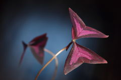 Oxalis, Kislitsa o triangular, houseplant. Imagem de Stock Royalty Free