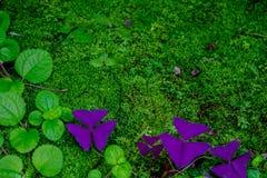 Oxalis púrpuras y hoja verde en musgo fotografía de archivo libre de regalías