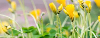 Oxalis Perdicaria florece en los jardines botánicos de Birmingham, Reino Unido Imagenes de archivo