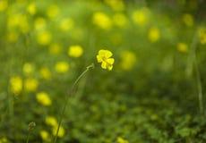 Oxalis pes-caprae background. Oxalis pes-caprae natural floral macro background stock photos