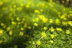 Oxalis pes-caprae background. Oxalis pes-caprae natural floral macro background royalty free stock photos