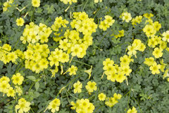 Oxalis pes-caprae. Closeup image of a group of yellow flowers (Oxalis pes-caprae royalty free stock photography