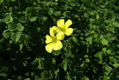 Oxalis pes-caprae Royalty Free Stock Photography