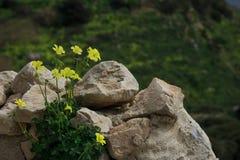 Oxalis pes - caprae. Oxalis pes-caprae on a wall in Malta stock images