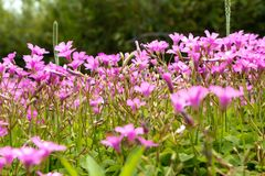 Oxalis corymbosa-spring grass. Oxalis plant height, basal leaves and white flowers are blooming, rose red, pink, florescence in November. Rhizomes of the root of Royalty Free Stock Image