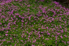 Oxalis corymbosa-spring grass. Oxalis plant height, basal leaves and white flowers are blooming, rose red, pink, florescence in November. Rhizomes of the root of Stock Photography