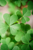 Oxalis plant leaves. Royalty Free Stock Image