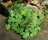 Oxalis plant Stock Photos