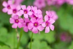 Oxalis que floresce perto acima Imagem de Stock Royalty Free