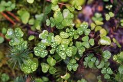Oxalis with raindrops Stock Image