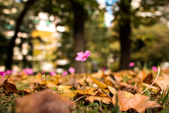 Oxalis rubra flower between autumn leaves Royalty Free Stock Image
