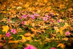 Oxalis rubra flower between autumn leaves Stock Image
