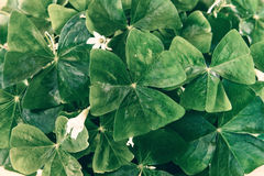 Oxalis Shamrock Background Royalty Free Stock Photography