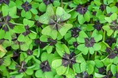 Oxalis tetraphylla background Stock Photos