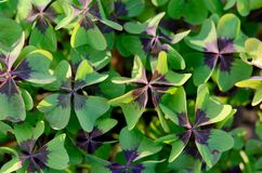 Oxalis tetraphylla, Deppei. False Four - Leaved Clover, Happy CLover. Top View Abstract Natural background. Oxalis tetraphylla, Oxalis Deppei. False Four stock photos