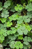 Oxalis tree in garden Royalty Free Stock Images