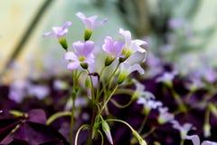 Oxalis triangularis开花的野花 图库摄影