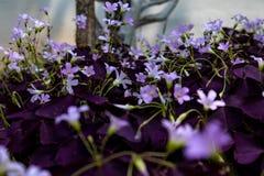 Oxalis triangularis开花的野花 免版税库存照片